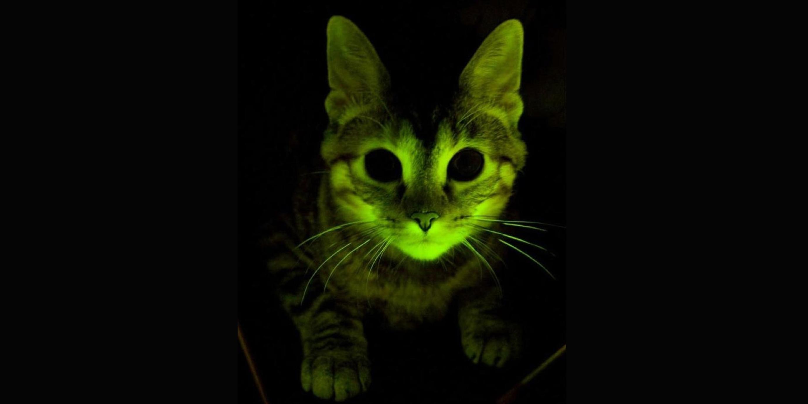 Mit einem fluoreszierenden Quallenprotein gentechnisch veränderte Katze. Copyright: Mayo-Klinik